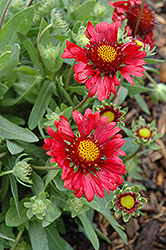 Burgundy Blanket Flower (Gaillardia x grandiflora 'Burgundy') at Alsip Home and Nursery