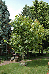 Moosewood (Acer pensylvanicum) at Alsip Home and Nursery