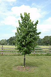 True North Linden (Tilia americana 'Duros') at Alsip Home and Nursery