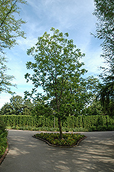 Pecan (Carya illinoinensis) at Alsip Home and Nursery