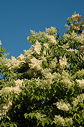 Vanilla Sky Japanese Tree Lilac (Syringa reticulata 'Vanskyzam') at Alsip Home and Nursery