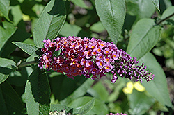 Bicolor Butterfly Bush (Buddleia x weyeriana 'Bicolor') at Alsip Home and Nursery