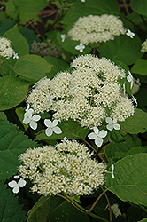 White Dome Hydrangea (Hydrangea arborescens 'White Dome') at Alsip Home and Nursery