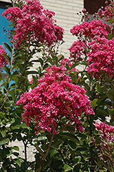Miami Crapemyrtle (Lagerstroemia 'Miami') at Alsip Home and Nursery