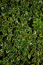 Golden Triumph Boxwood (Buxus microphylla 'Golden Triumph') at Alsip Home and Nursery