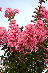 Sioux Crapemyrtle (Lagerstroemia 'Sioux') at Alsip Home and Nursery