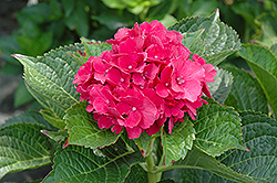 Masja Hydrangea (Hydrangea macrophylla 'Masja') at Alsip Home and Nursery