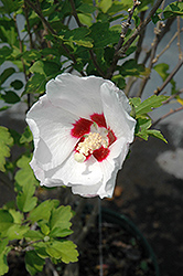 Red Heart Rose Of Sharon (Hibiscus syriacus 'Red Heart') at Alsip Home and Nursery