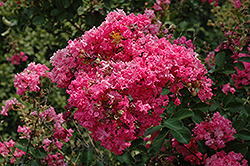 Tonto Crapemyrtle (Lagerstroemia 'Tonto') at Alsip Home and Nursery
