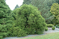 Spiraliter Falcata Japanese Cedar (Cryptomeria japonica 'Spiraliter Falcata') at Alsip Home and Nursery