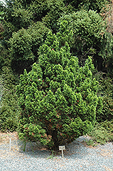 Spiralis Falsecypress (Chamaecyparis obtusa 'Spiralis') at Alsip Home and Nursery