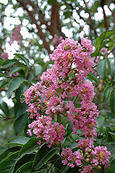 Biloxi Crapemyrtle (Lagerstroemia 'Biloxi') at Alsip Home and Nursery