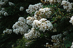 Acoma Crapemyrtle (Lagerstroemia 'Acoma') at Alsip Home and Nursery