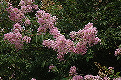 Muskogee Crapemyrtle (Lagerstroemia 'Muskogee') at Alsip Home and Nursery