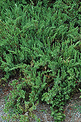 Shore Juniper (Juniperus conferta) at Alsip Home and Nursery