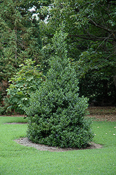 Oakland™ Holly (Ilex 'Magland') at Alsip Home and Nursery