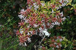 Frances Mason Abelia (Abelia x grandiflora 'Frances Mason') at Alsip Home and Nursery