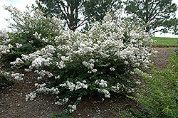 Early Bird™ White Crapemyrtle (Lagerstroemia 'JD900') at Alsip Home and Nursery