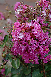 Early Bird™ Purple Crapemyrtle (Lagerstroemia 'JD827') at Alsip Home and Nursery