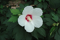 Lohengrin Rose of Sharon (Hibiscus 'Lohengrin') at Alsip Home and Nursery