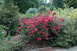 Red Filli Crapemyrtle (Lagerstroemia indica 'Red Filli') at Alsip Home and Nursery