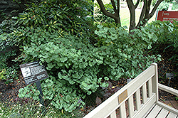 Mariken Dwarf Ginkgo (Ginkgo biloba 'Mariken') at Alsip Home and Nursery