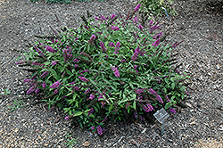 Flutterby Petite® Tutti Fruitti Butterfly Bush (Buddleia davidii 'Podaras 13') at Alsip Home and Nursery