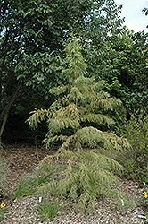 Peve Yellow Baldcypress (Taxodium distichum 'Peve Yellow') at Alsip Home and Nursery