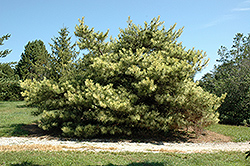 Dragon's Eye Japanese Red Pine (Pinus densiflora 'Oculus Draconis') at Alsip Home and Nursery