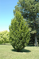 Frans Fontaine Hornbeam (Carpinus betulus 'Frans Fontaine') at Alsip Home and Nursery