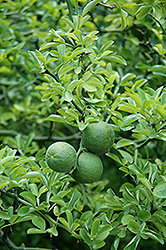 Japanese Bitter Orange (Poncirus trifoliata) at Alsip Home and Nursery