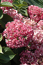 Pink Shira Hydrangea (Hydrangea macrophylla 'Sonmarie') at Alsip Home and Nursery