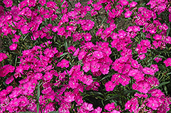 Bouquet Purple Pinks (Dianthus 'Bouquet Purple') at Alsip Home and Nursery