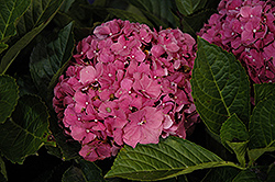 Red Sensation Hydrangea (Hydrangea macrophylla 'Red Sensation') at Alsip Home and Nursery