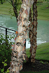 River Birch (Betula nigra) at Alsip Home and Nursery