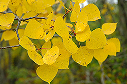 Trembling Aspen (Populus tremuloides) at Alsip Home and Nursery