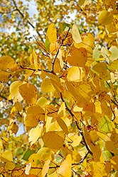 Prairie Gold Trembling Aspen (Populus tremuloides 'NE Arb') at Alsip Home and Nursery