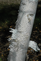 Paper Birch (Betula papyrifera) at Alsip Home and Nursery