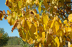 Legend Linden (Tilia americana 'Legend') at Alsip Home and Nursery