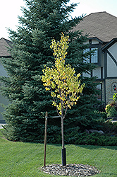 Boulevard Japanese Tree Lilac (Syringa reticulata 'Boulevard') at Alsip Home and Nursery