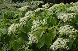 Giant Dogwood (Cornus controversa) at Alsip Home and Nursery