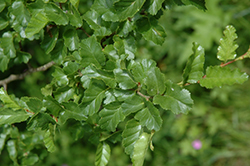 Roble Beech (Nothofagus obliqua) at Alsip Home and Nursery