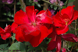Altissimo Rose (Rosa 'Altissimo') at Alsip Home and Nursery