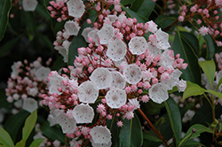 Elf Mountain Laurel (Kalmia latifolia 'Elf') at Alsip Home and Nursery