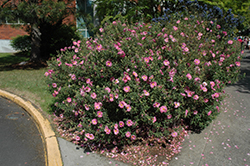 Purple Rockrose (Cistus x purpureus) at Alsip Home and Nursery