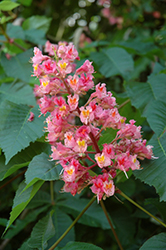 Briotti Red Horse Chestnut (Aesculus x carnea 'Briotti') at Alsip Home and Nursery