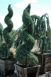Carolina Sapphire Arizona Cypress (Cupressus arizonica 'Carolina Sapphire') at Alsip Home and Nursery