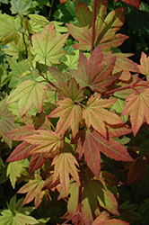 Vine Maple (Acer circinatum) at Alsip Home and Nursery