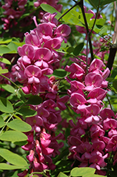 Purple Robe Locust (Robinia pseudoacacia 'Purple Robe') at Alsip Home and Nursery