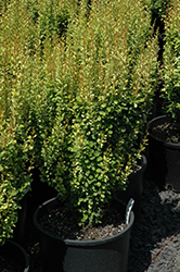 Pow Wow Japanese Barberry (Berberis thunbergii 'Pow Wow') at Alsip Home and Nursery